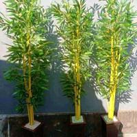 Tanaman hias bambu kuning penangkal setan belek