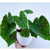 tanaman hias keladi tricolor caladium