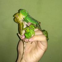BABY FOREST DRAGON - WARNA RANDOM