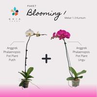 Paket Blooming Mix 1- Anggrek Bulan Ungu & Putih Mekar 1-3 Kuntum