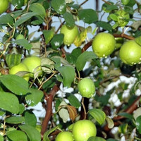 Bibit Tanaman Buah Apel Putsa/Pohon Apel India/Murah Berkualitas
