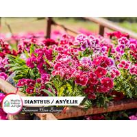 Tanaman Hias Bunga Anyelir - Bunga Dianthus