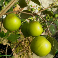 Tanaman Putsa ( Apel India ) 40cm