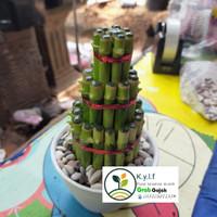 tanaman hias bambu hoki plus pot/tanaman air/tanaman indoor/bambu cina
