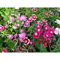 Bibit/Benih/Seeds Bunga Diantus Wee willie/Anyelir Turki/Sweet William