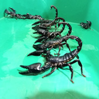 asian forest scorpion afs