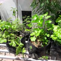 bibit tanaman seledri, celery, daun sop