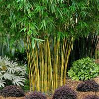 Bibit bambu China Gold / Bambu Lemon / kultur jaringan / bambu hias