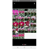 Anggrek Bulan Phalaenopsis Remaja