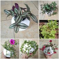 Paket tanaman hias gantung 6 jenis tanaman