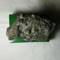 fosil keong buntet membesi /batu badar emas