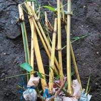 Tanaman Bambu kuning penangkal setan belek