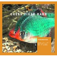 Green Tiger Barb Fish / Ikan Tiger Sumatera / Ikan Hias / Aquascape