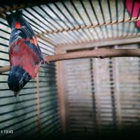 Jual Burung Red Siskin Di Bandung Harga Terbaru 2021