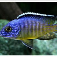 Ikan Hias Cichlid Blue Neon Medium Big Size