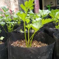 Bibit Tanaman Daun Seledri - Sledri - Pohon Daun Celery - Bumbu Masak