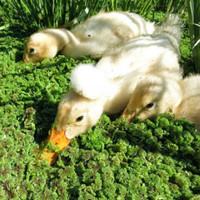 Benih Bibit Azolla pinata microphyla Pakan Ikan Ayam bebek 100 gram
