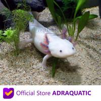 AXOLOTL PUTIH MATA HITAM LEUCISTIC WHITE DOGFISH SALAMANDER FISH