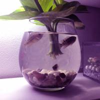 Aquarium Ikan Cupang Mini Akuarium Minimalis 475ml Kaca Hias Bulat