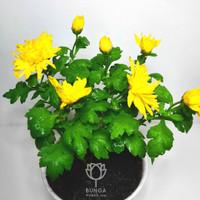 Tanaman Hias Bunga Krisan Kuning