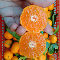 buah jeruk kecil Santang birma madu full manis tanpa asam tanpa biji