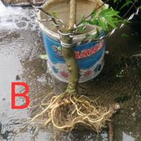Anting putri bahan bonsai