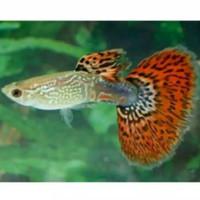ikan hias air tawar guppy cobra gapi batik gupi aquarium aquascape