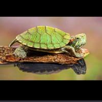 kura kura brazil hijau air tawar turtle mini size aquascape aquarium