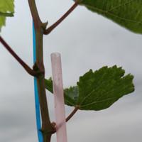 entres anggur import moon drops / avatar / sweet saphire