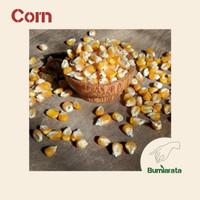 [ Termurah ] Benih Jagung Organik - Biji Jagung - Microgreens - Corn