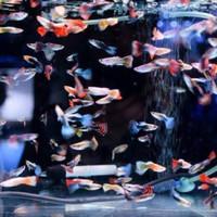 ikan hias guppy aquarium aquascape