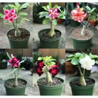 paket6 tanaman hias adhenium kamboja bunga hidup indoor outdoor