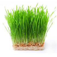 Benih Microgreen Microgreens - Wheatgrass Rumput Gandum Rumput Kucing