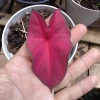 anakan keladi merah red mirzani tanaman hias