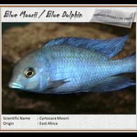 Ikan Hias Blue Morrii Blue Dolphin Chiclid Big Size