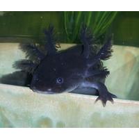Axolotl Melanoid TOP GRADE