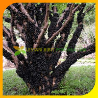 Bibit Tanaman Buah Anggur Brazil Jaboticaba