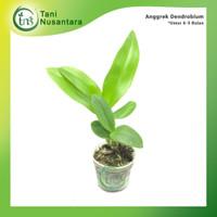 Seedling Bibit Anggrek Dendrobium 4-5 bulan