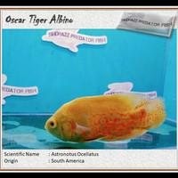 Ikan Hias Predator Oscar Tiger Albino Big Size