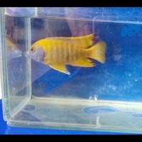 Ikan Cichlid Aulonocara Baenshi uk 10-12cm Kuning Stabilo