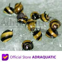 KEONG BUMBLEBEE SNAIL ALGAETER ALGAE EATER AQUASCAPE BUMBLE BEE