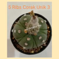 Biji Kaktus Astro Astrophytum 5 Ribs Corak Unik 3