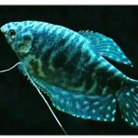 Ikan Hias Sepat Biru Big Size