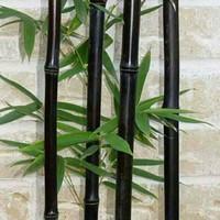 bibit bambu hitam/1btng