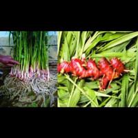 bibit tanaman obat herbal,bibit tanaman jahe merah unggul