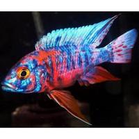 Ikan aulonocara ob peacock cichlid