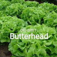 ( 10 Gram ) Benih Selada Butterhead   Lettuce REPACK