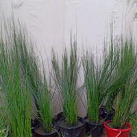 Tanaman Bambu Air / Bibit Tanaman / Benih Tanaman / Tanaman Hias