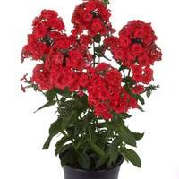 Tanaman hias bunga anyelir bunga merah/dianthus rockin red