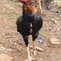 ayam laga pakhoy